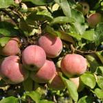"""""""Einen Apfel täglich und keine Krankheit quält dich.""""  Seneca"""
